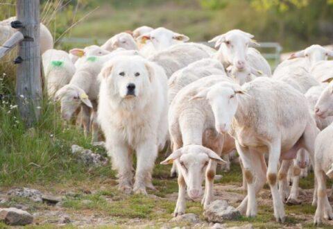 patou et moutons
